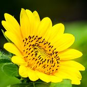 foto of dwarf  - Dwarf Sunflower or Helianthus annuus L. Dwarf Sungold in the garden