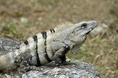 Cozumel Iguana On Rock Perch