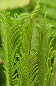 Young fern leaves.