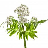 Valerian herb flowering isolated on white background