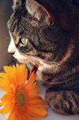 Tabby With Orange Flower