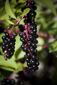 Sardinia.Blackcurrants