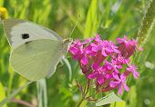 White Butterfly On Wild Flower