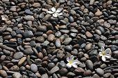 Pulmeria Flower On Black Stones