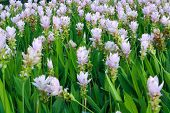 stock photo of curcuma  - Curcuma alismatifolia Siam tulip or summer tulip  - JPG