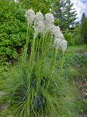Bear Grass In Garden