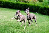 foto of greyhounds  - Italian Greyhound playing in countryside park Poland - JPG