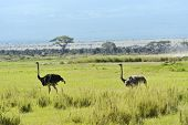 image of kilimanjaro  - Ostriches Kilimanjaro in Amboseli National Park - JPG