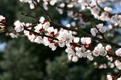 Apricot tree with flowers