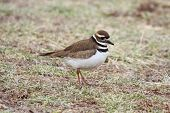 pic of killdeer  - Killdeer  - JPG