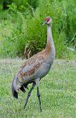 Lesser Sandhill Crane 1