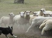Sheep Herding Action