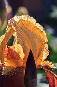 Orange iris petals