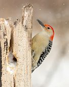stock photo of woodpecker  - Red - JPG