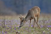Grazing roe deer