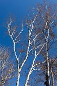 some tree of birch on blue sky background