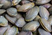 foto of clam  - Closeup fresh raw Surf clam backgroundSurf clam Short necked clam Carpet clam Venus shell Baby clam Paphia undulata Veneridae - JPG
