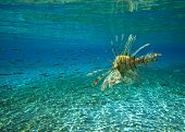 foto of lion-fish  - Lion fish - JPG