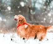 friendly active retriever walk at the snow