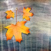 Autumn Maple Branch With Leaves On Blue Jeans Background