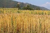 Golden color of Wheat field along the mountain in Sanga, Nepal, ready to be harvested soon