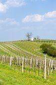 spring vineyards near Nemcicky, Czech Republic