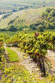 autumnal vineyards, Southern Moravia, Czech Republic