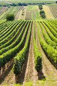 vineyard called Noviny near Cejkovice, Czech Republic