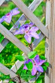 purple flowers on picket fence
