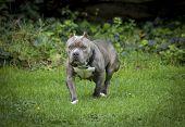 Squat blue nose pitbull posing in a field
