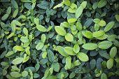 Green Leaf Background, Texture