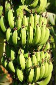Banana plantation in sun - egypt