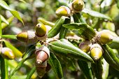 leaves and fruit acorns of holly or holm oak