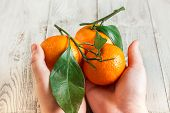 Tangerines With Leaves In The Hands Of A Child