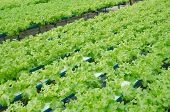 Vegetable Farm Green Cos Lettuce Salad Leaves