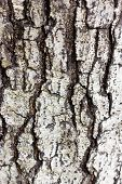 Crack Bark As Background.