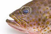 Fresh Areolate Grouper (epinephelus Areolatus) Fish .