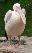 stock photo of water bird  - Pelicans are a large water birds - JPG
