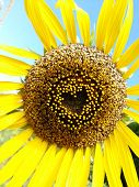 Beautiful Sunflower Heart Shape