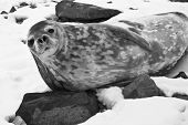 The grey seal has a rest on stones in Antarctica