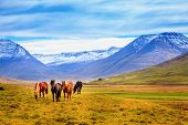 A group of Icelandic Ponies in the pasture with mountains in the background