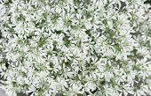 Full Frame Natural White Flowers Background