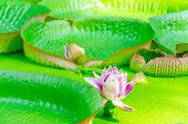 Victoria, Amazonas, Water Lily, Leaves