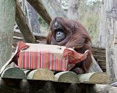 An adult orangutan opening a wrapped Christmas gift.
