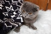 Lovely British cat wrapped in plaid on fur rug on wooden background