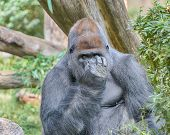 Gorilla, Smithsonian National Zoo, Washington, D.C.