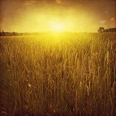 Wheat field at sunset in grunge and retro style.