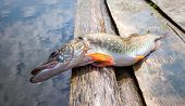 Large pike lying on a wooden jetty on a sunny day