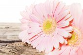 Gerbera Pink Daisy Flower
