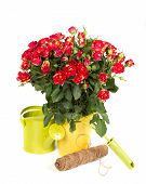 Gardening Roses With Watering Can And Tools